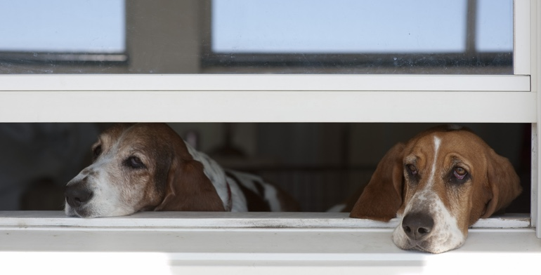 Dogs look out open window with no window treatment in Houston.